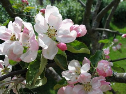 Under Äppelblom vill jag möta dig, när den blomstrar som mest, precis som våran kärlek till varandra, Haha