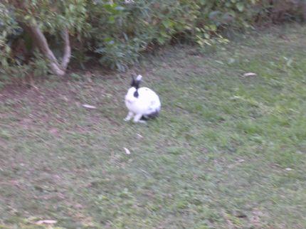 Kanin!